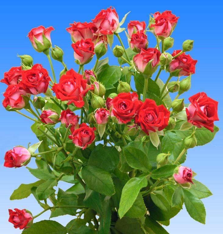 Розы Би Баблс