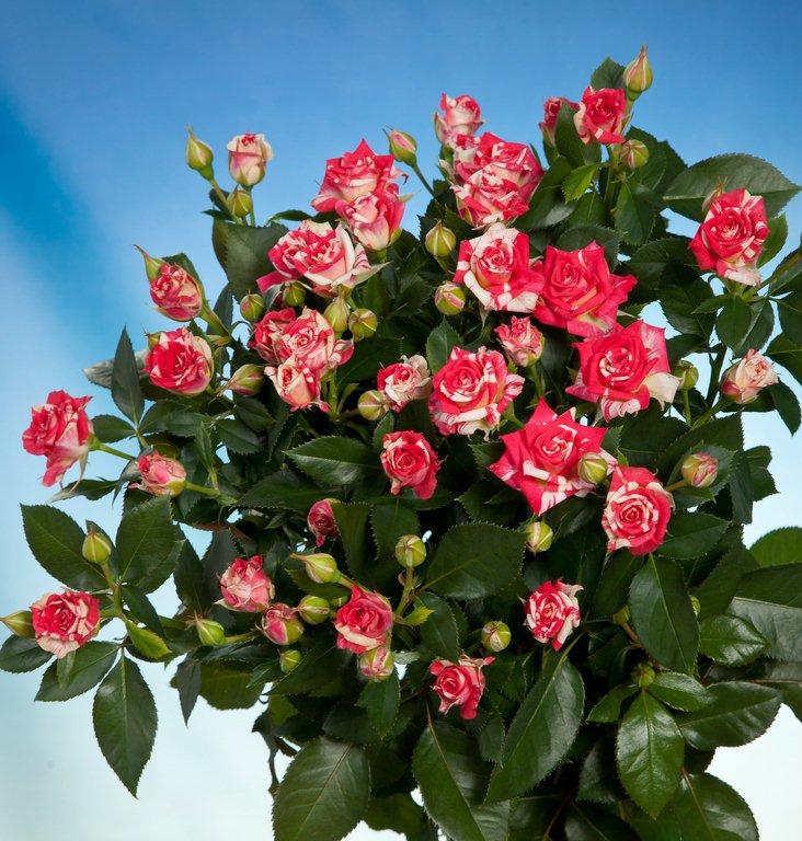 Розы Фаерворкс