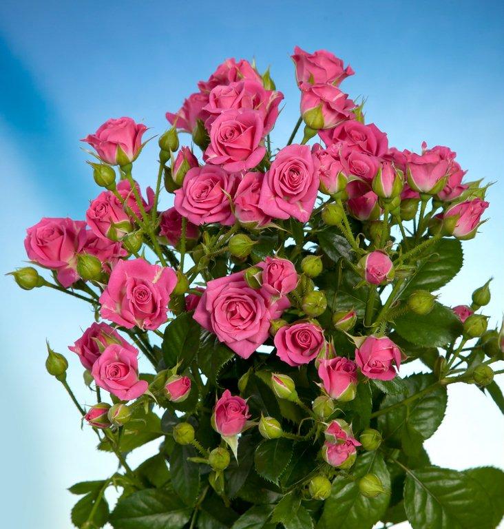 Розы Лавли Лидия