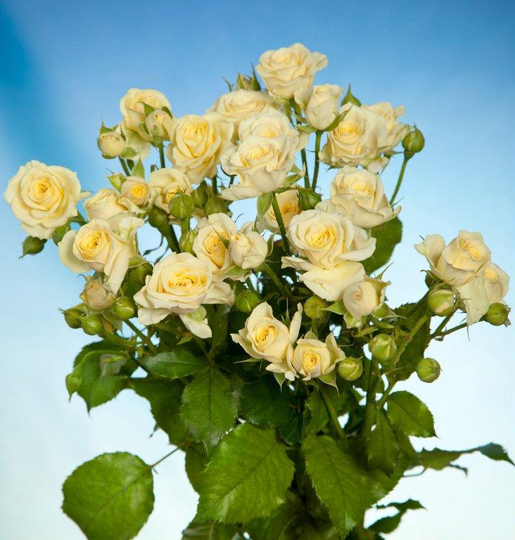 Розы Ванила Букет